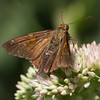 another skipper sachem--1