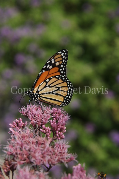 Monarch Butterfly on 'Gateway' Joe Pye Weed 2