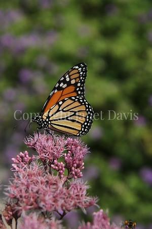 Monarch Butterfly on 'Gateway' Joe Pye Weed 2