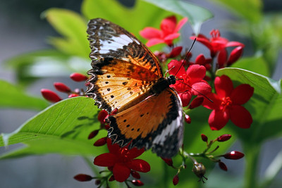 """Leopard Lacewing"""