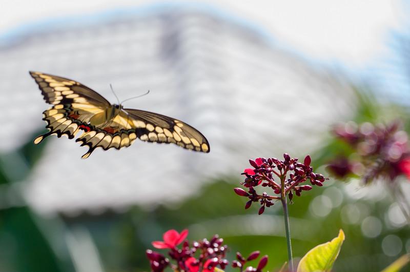 giant swallowtail