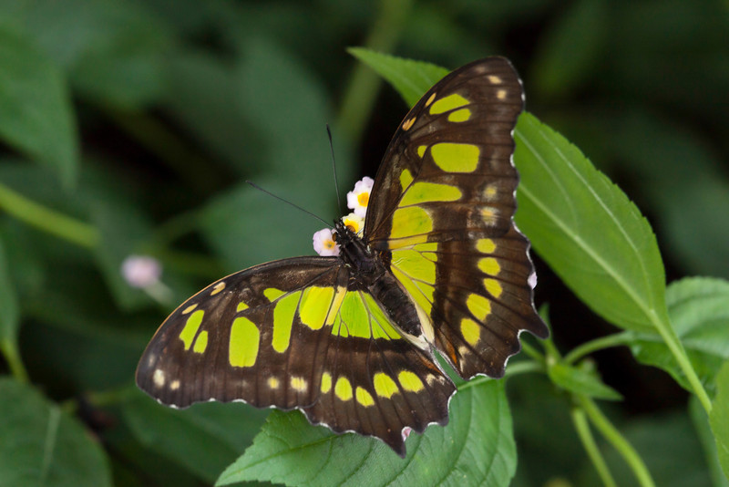 Green and brown malachite butterfly on a leaf