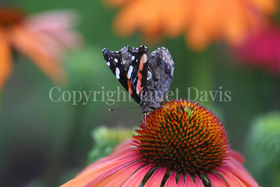 Red Admiral Butterfly on Echinacea 'Mama Mia' 3
