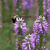 Hummingbird Clearwing Moth on Veronica 'Eveline' 1
