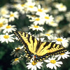 Eastern Tiger Swallowtail Butterfly on Caucasus Daisy