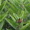 Monarch Butterfly Ovipositing on Common Milkweed 3