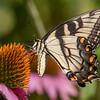 Butterfly E4A5806