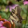 Butterfly E4A6267
