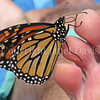 Monarch Butterfly Tasting Salt From Sweat on Man's Toe 2