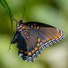 red spotted purple-3195