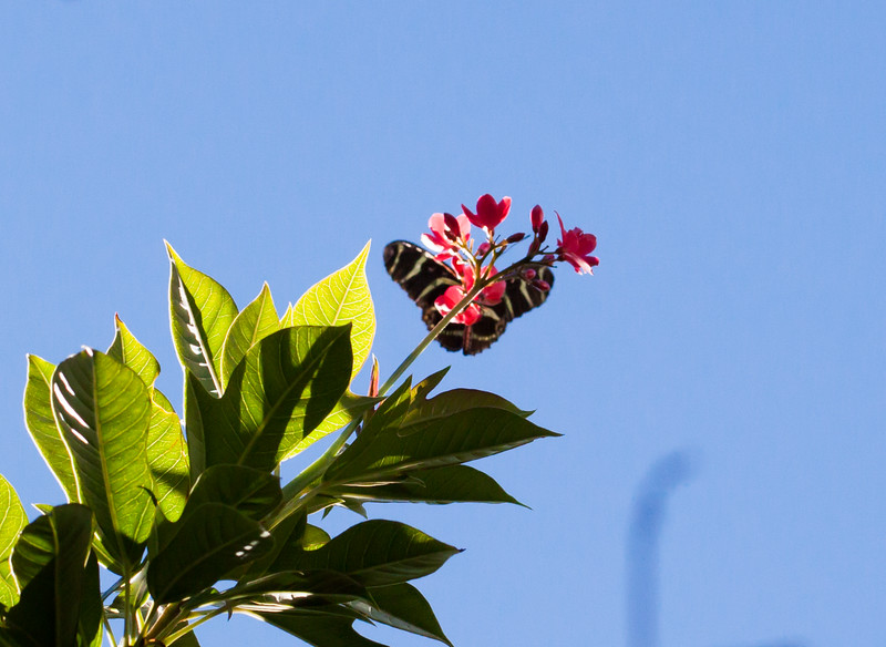 zebra longwing on jatropha