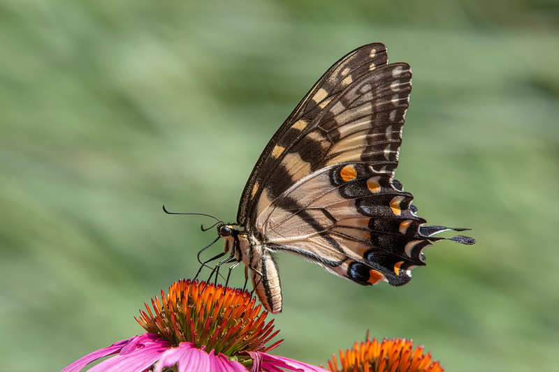 Butterfly E4A5757