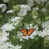 Viceroy Butterfly on Queen Anne's Lace 2