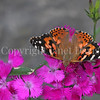 Painted Lady Butterfly on China Pinks 4