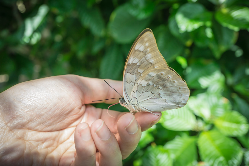 Banded King Shoemaker Butterfly (Archaeoprepona demophon) on my hand