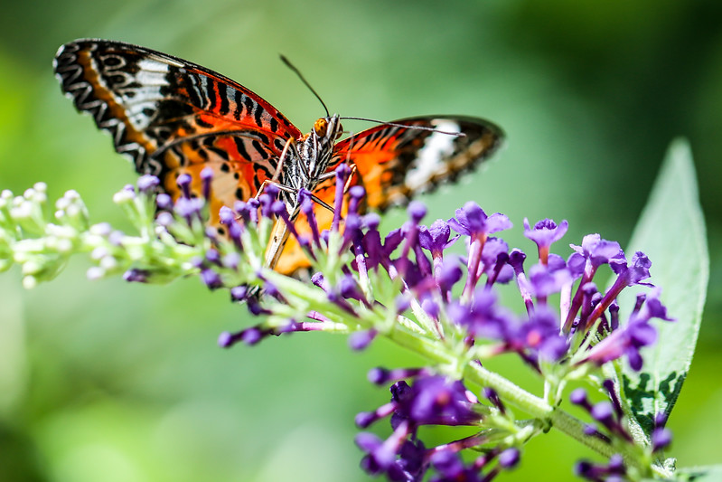 Male Leopard Lacewing (Cethosia cyane) on purple butterfly bush