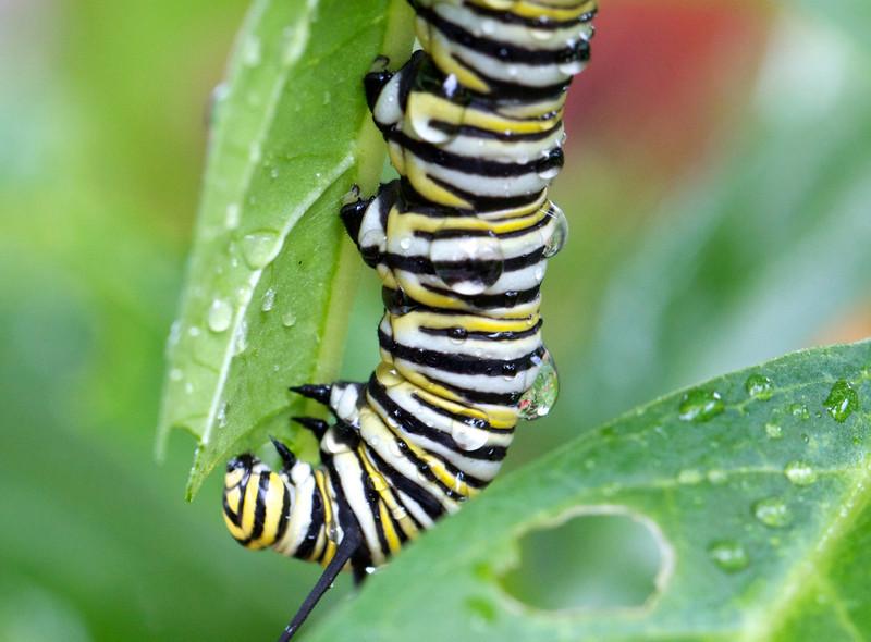 raindrops on caterpillars