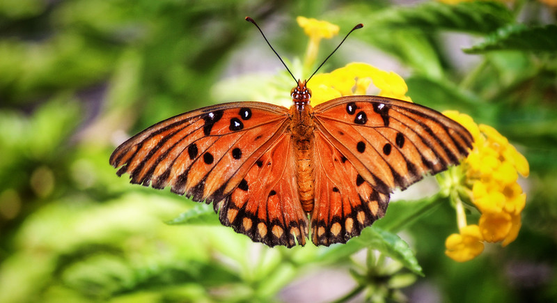 Orange Butterfly Wings Spread