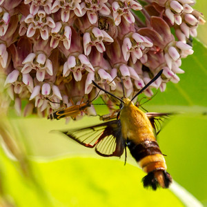 Snowberry Clearwing on Common Milkweed Flower