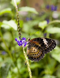 """""""Lacewing Butterfly"""""""