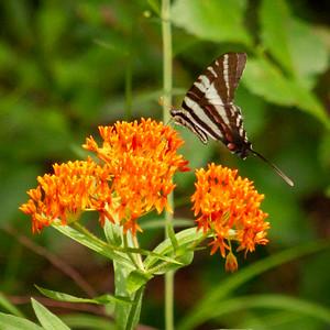 Zebra  Swallowtail on Butterfly Weed