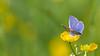 Common blue ♂︎ / Polyommatus icarus ♂︎ / Icarusblauwtje ♂︎