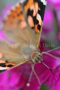Painted Lady Butterfly on China Pinks 2