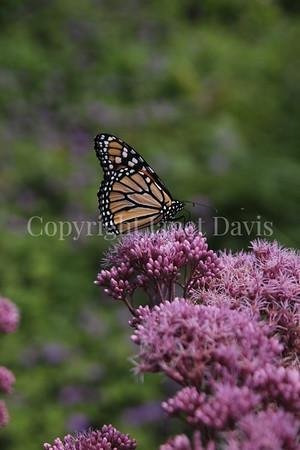 Monarch Butterfly on 'Gateway' Joe Pye Weed 3