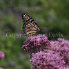Monarch Butterfly on 'Gateway' Joe Pye Weed 3