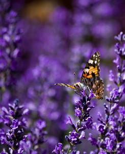 """Purple Rays"" Painted Lady - Taken in Gimmelwald Switzerland #44070985"