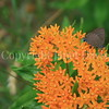 Banded Hairstreak Butterfly on Butterfly Milkweed