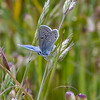 Here's Lookin' at You:  Mission Blue butterfly (Icaricia icariodes missionensis) on rattlesnake grass
