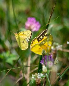 Alfalfa Butterfly or Orange Sulphur