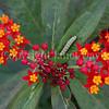 Monarch Larval Caterpillar on Tropical Milkweed