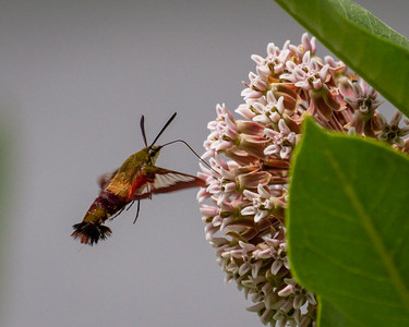 Snowberry Clearwing 1