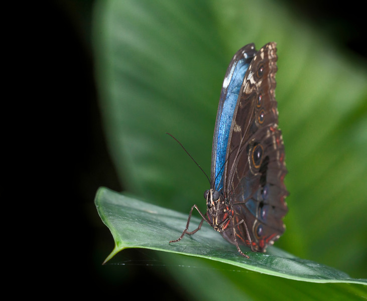 Morpho Butterfly on a leaf