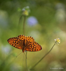 Oregon Silverspot Butterfly