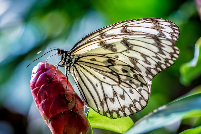 Rice Paper Butterfly (Idea leuconoe) on bromeliad