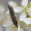 Red Admiral Butterfly on Plum Blossoms 5