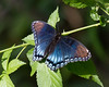 Red Spotted Purple on Bush