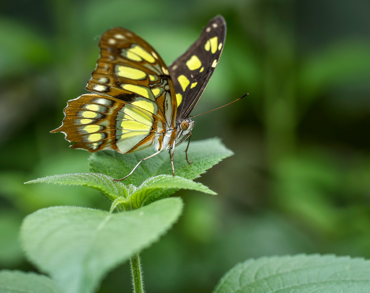 Malachite Butterfly on a Leaf