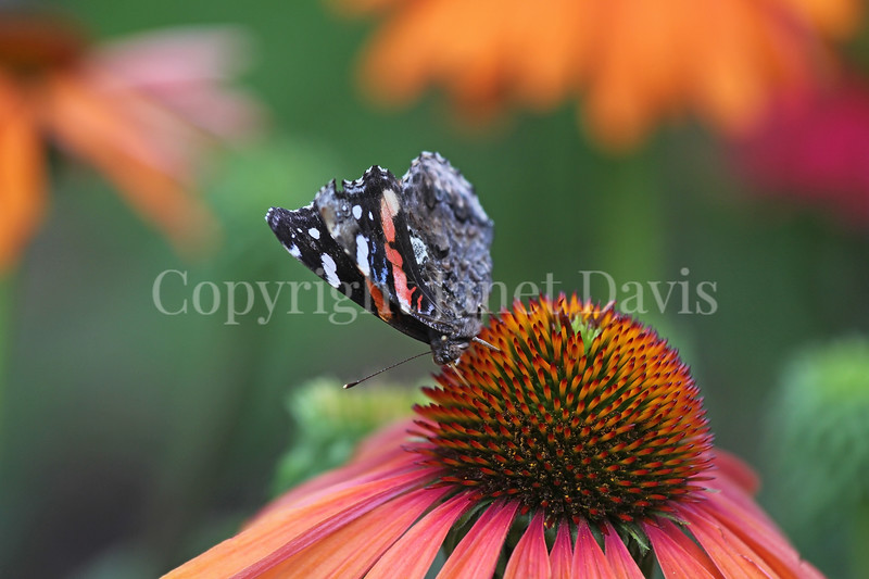 Red Admiral Butterfly on Echinacea 'Mama Mia' 2