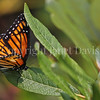 Viceroy Butterfly Ovipositing on Willow Shrub 2