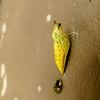 Spicebush Swallowtail Butterfly Chrysalis