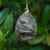 Ceanothus moth chrysallis