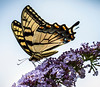 Tiger Swallowtail at Daybreak Imagery Garden