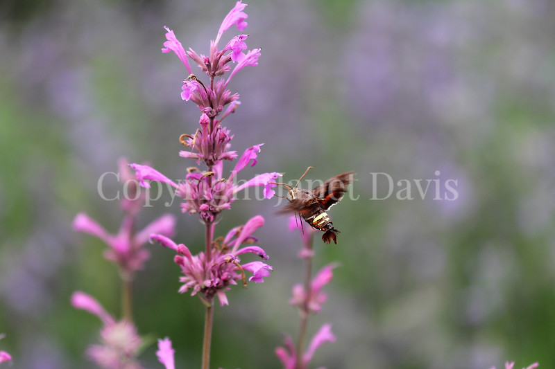 Nessus Sphinx Moth on Mexican Giant Hyssop 1