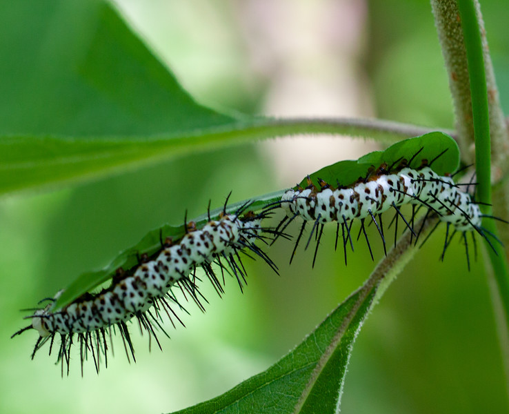 zebra longwing caterpillars