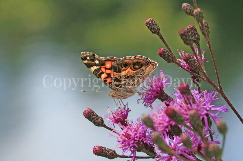 American Painted Lady Butterfly on New York Ironweed 3