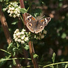 Buckeye butterfly on Coyote brush<br /> Junonia coenia